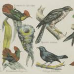 Reconnaître les oiseaux  : Ornidroid