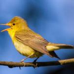 Le chœur de l'aube ou les oiseaux du matin